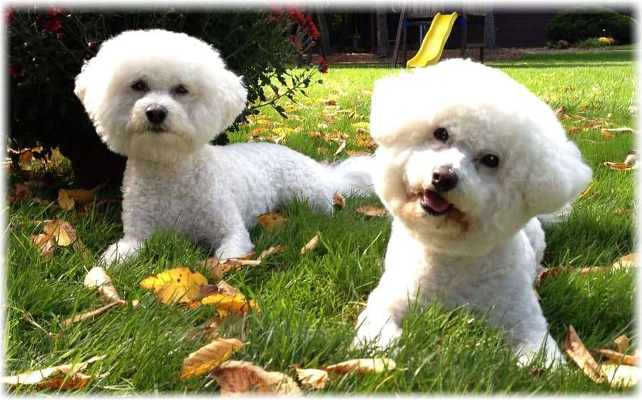 Бишон фризе: описание породы, фото, отзывы владельцев, характер собаки