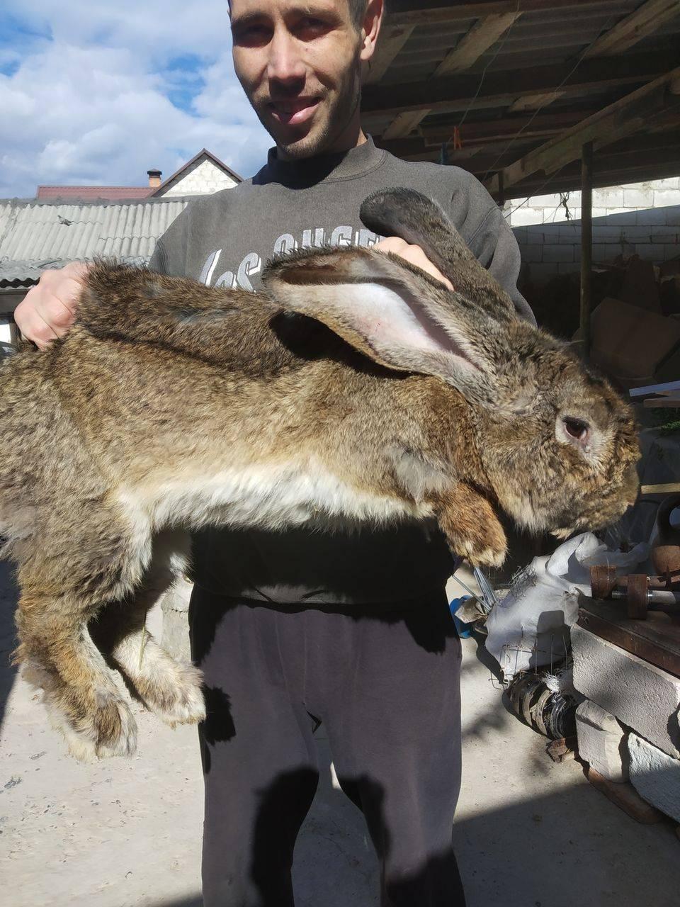 Фландр – самая крупная порода кроликов