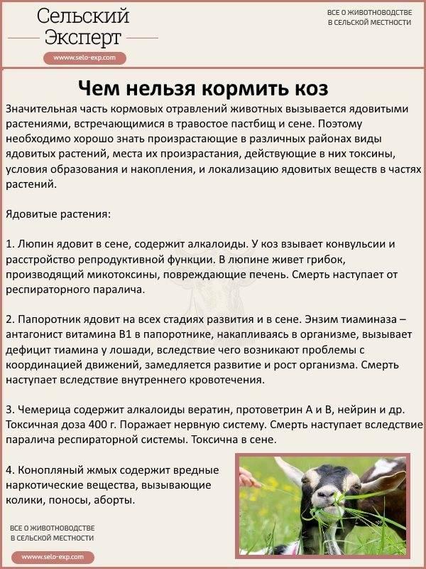 Домашняя лиса: условия содержания, кормление, прогулки