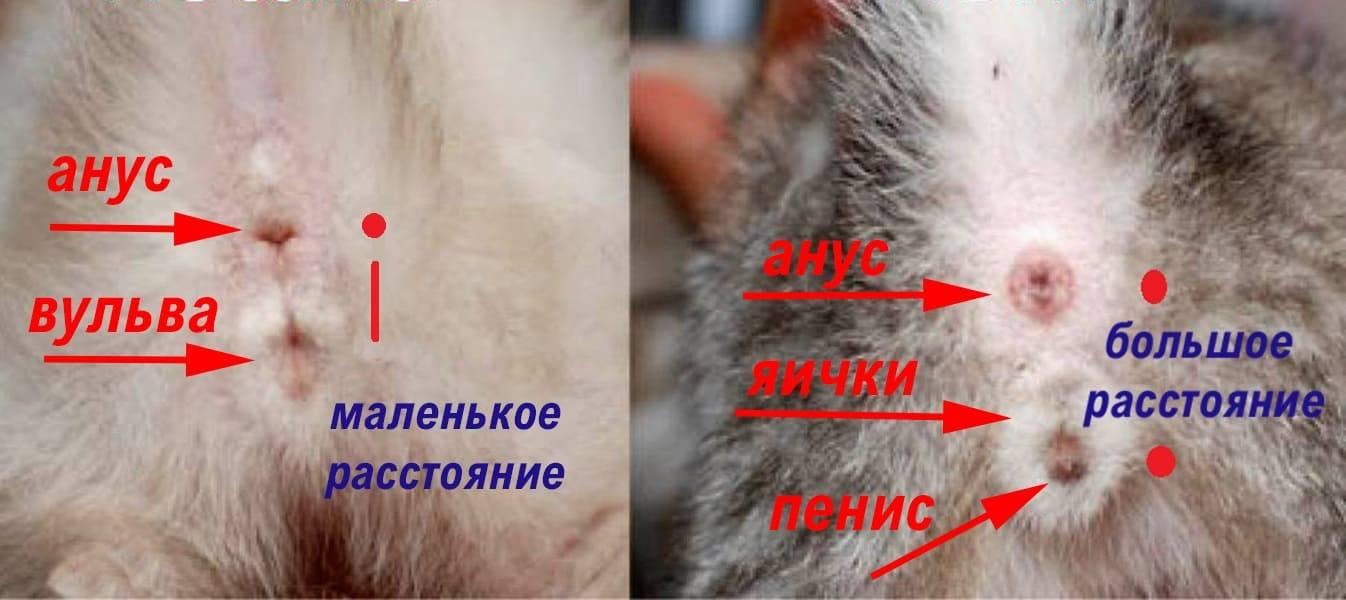 Как определить пол котенка и отличить кота от кошки