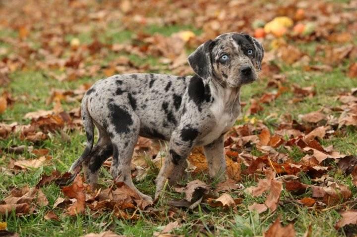 Леопардовая собака катахулы. описание, особенности, характер, история и цена породы | животный мир