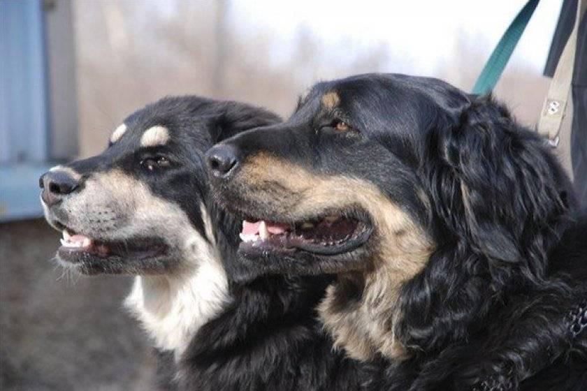 Монгольская овчарка (45 фото): описание породы собак банхар, характер щенков бурят-монгольского волкодава хотошо, подходящие клички