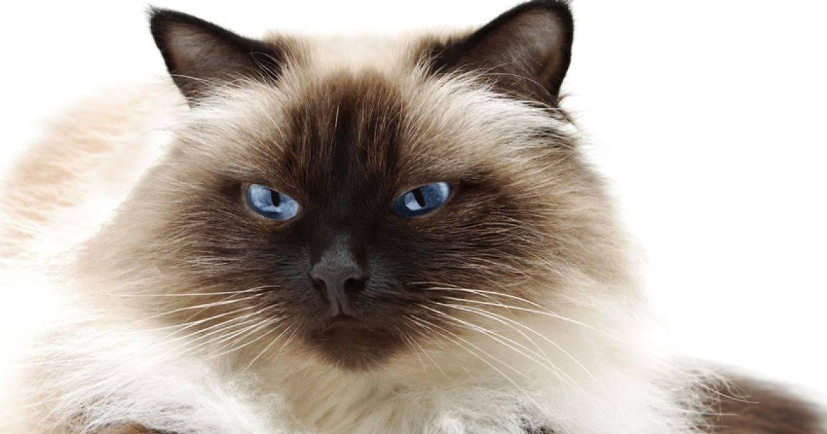 Бирманская кошка: происхождение породы, внешние особенности, фото священного кота, условия содержания и ухода, отзывы владельцев