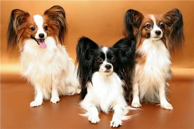 Собака папильон: характер, стандарт внешности и содержание
