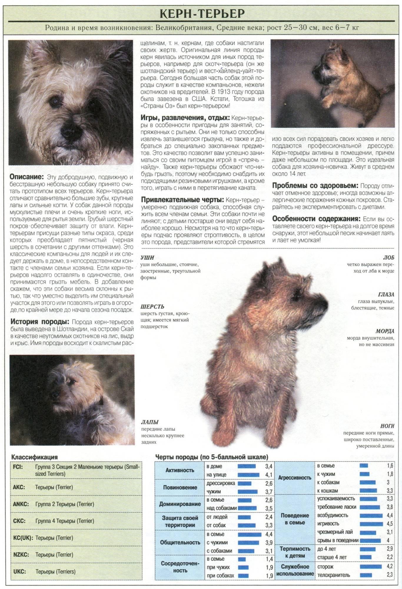 Керн терьер: описание породы, содержание и уход, стоимость в питомниках