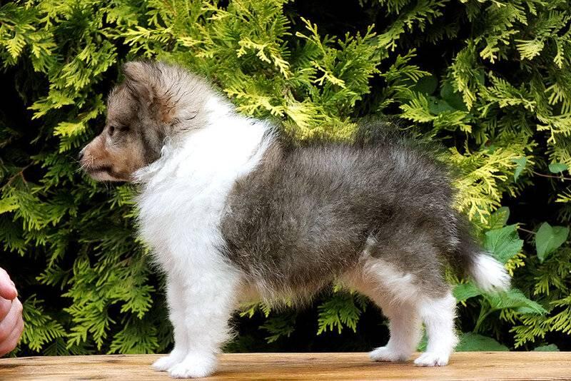 Шелти: описание собак, вариации окраса и особенности содержания