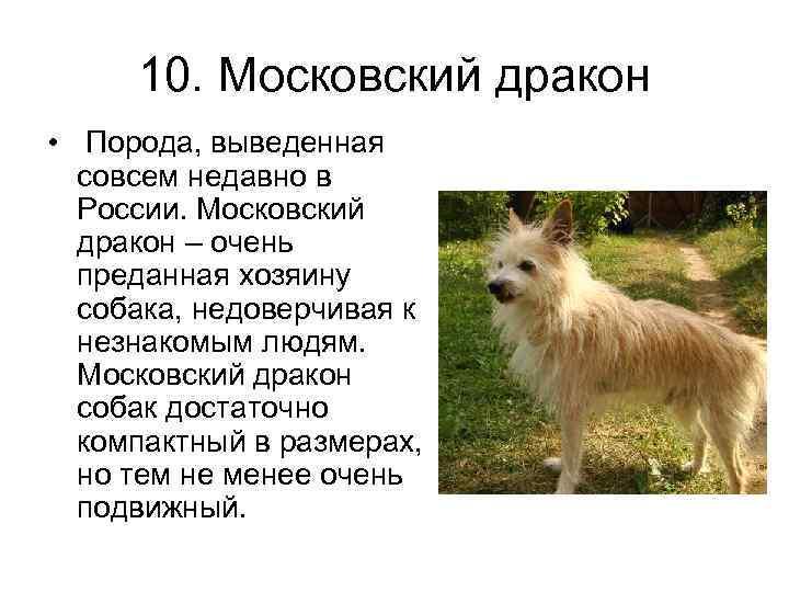 Московская сторожевая: описание, характер, дрессировка, фото