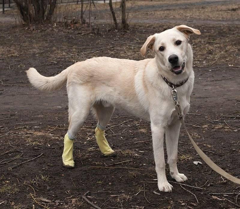 Ротвейлер: метисы и похожие породы, помесь с немецкой овчаркой, с лабрадором, сравнение с другими собаками, фото видов, в том числе маленьких (мини) представителей