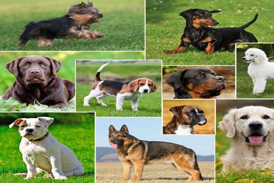 Новые породы собак: прихоть моды или научный эксперимент?