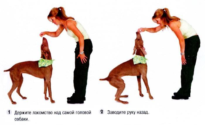 Дрессировка собак - как научить собаку выполнять команды | блог о домашних животных