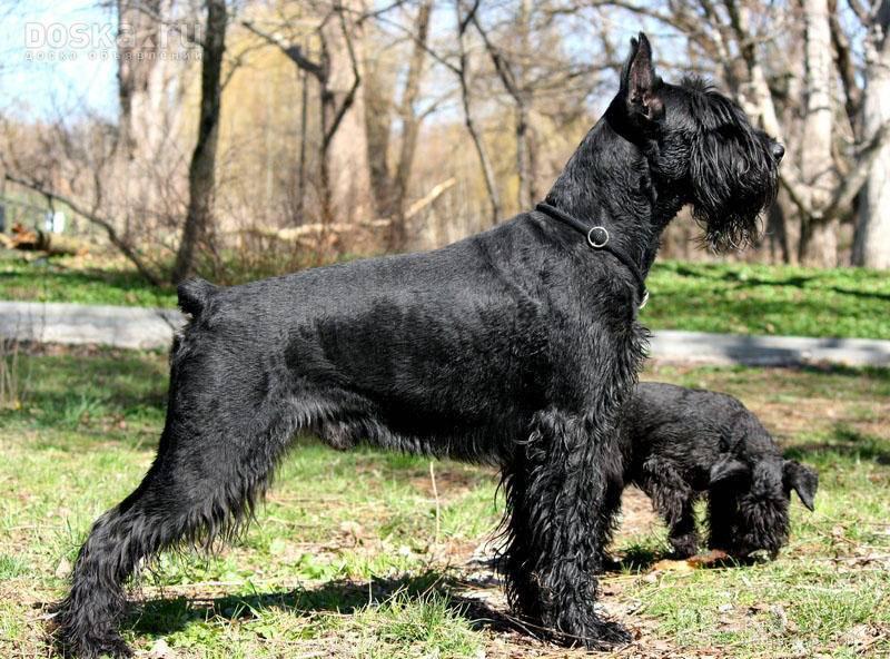 Ризеншнауцер: большой обзор породы и советы по выбору щенка (+ фото)