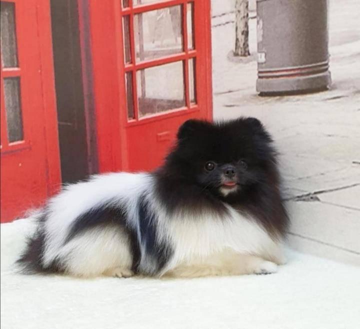 Померанский шпиц – фото, типы, описание, стандарт породы, цена щенка