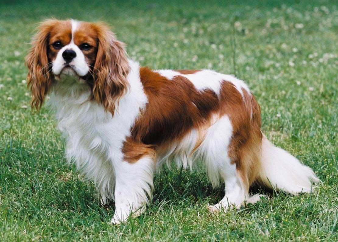 Кинг-чарльз-спаниель: фото собак, история происхождения, характеристика породы, правила ухода, выбор щенка и отзывы владельцев