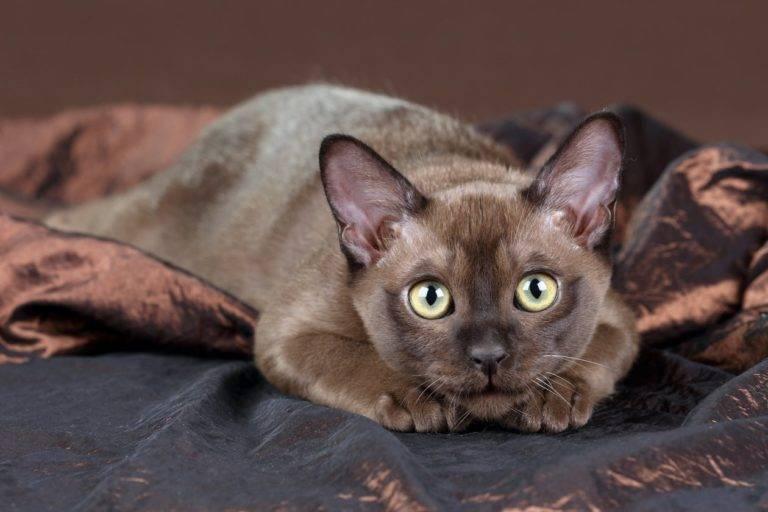 Бурманская кошка: история происхождения, характер и особенности содержания