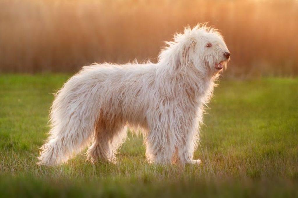 Южнорусская овчарка: фото, купить, видео, цена, содержание дома