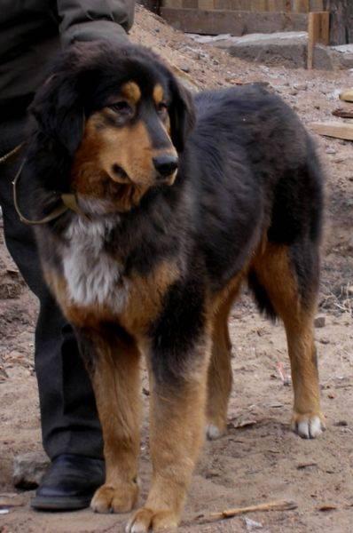 Монгольская овчарка — банхар