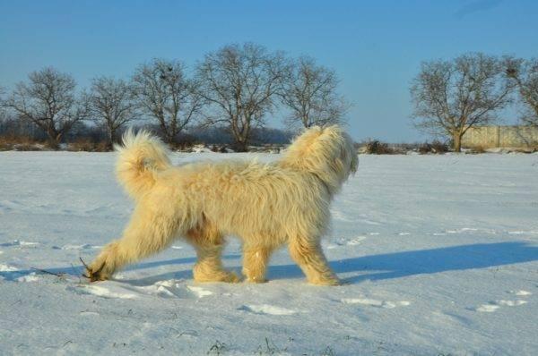 Южнорусская овчарка: особенности собаки и содержание породы, отзывы