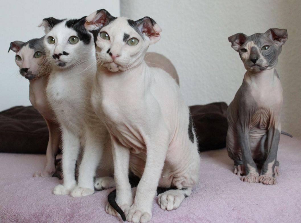 Смесь сфинкса и обычной кошки: какими будут котята метисы