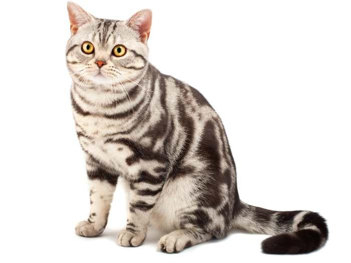 Американская короткошёрстная кошка: как выглядит, сколько стоит, как ухаживать, чем кормить