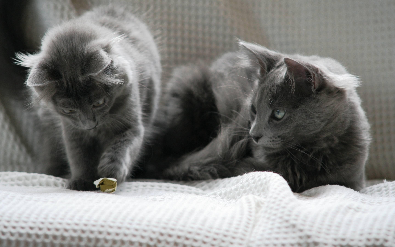 Нибелунг: описание породы кошек и характера, уход, фото