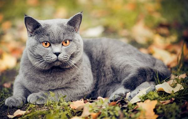 Шартрез кошка (фото): любимица французской знати