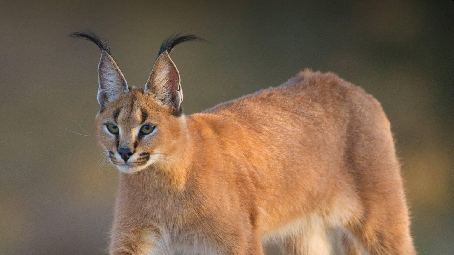 Домашний каракал или пустынная рысь: описание и уход, правила содержания котёнка