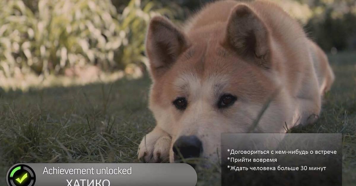 Порода собаки хатико – описание стандартов породы и история акита-ину