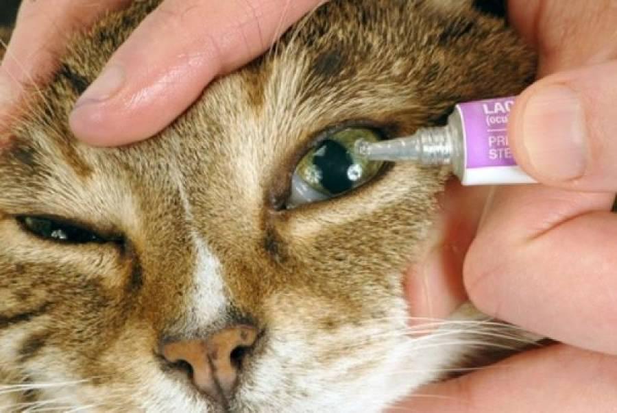 У котенка гноятся глаза: причины, что делать, как лечить в домашних условиях