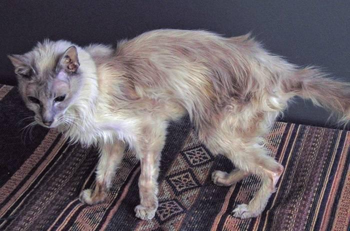 Гипертиреоз у кошек: причины, признаки, диагностика и терапия