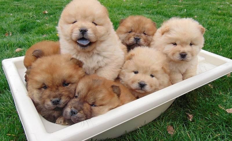 Самые дорогие породы собак. самая дорогая порода собак в россии - лучшие топ 10