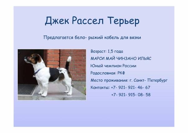 Особенности мини джек-рассел-терьеров: внешний вид, характер, требования к содержанию, плюсы и минусы + фото собак