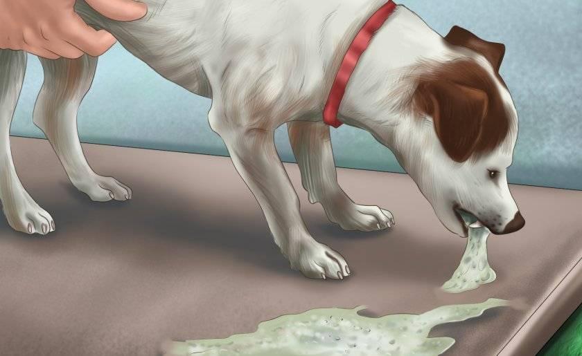 Рвота у собаки: причины и что делать в данной ситуации?