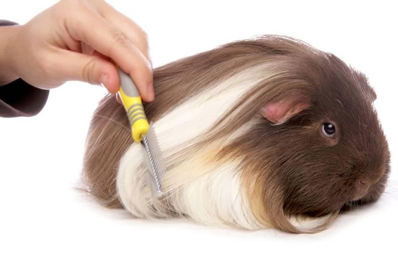 [новое исследование] что нужно для содержания морской свинки в домашних условиях: список аксессуаров