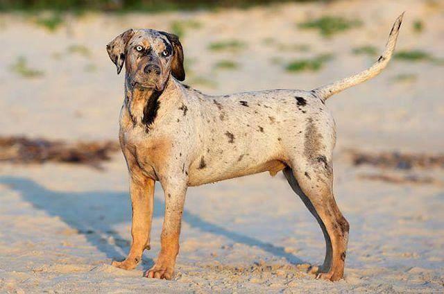 Леопардовая собака катахулы: фото и описание породы, условия содержания и уход