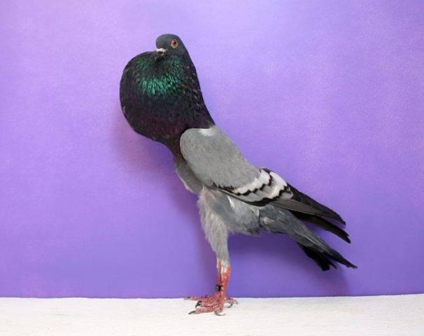 20+ необычных видов голубей, о существовании которых вы не подозревали