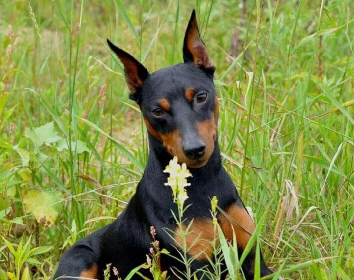 Цвергпинчер или карликовый пинчер - порода собак