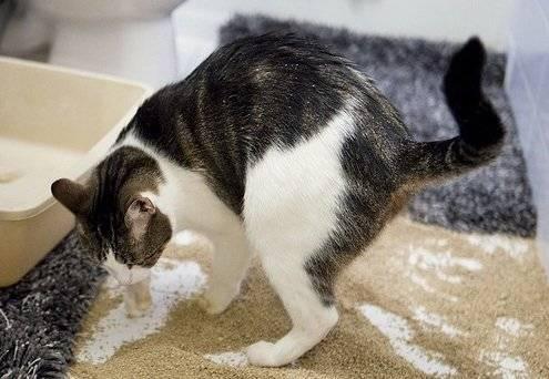 Когда котята начинают какать, как часто должен ходить в туалет по-большому и маленькому