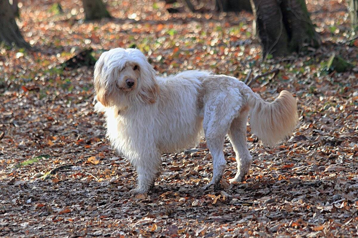 Породы собак, которые не линяют: названия и описание