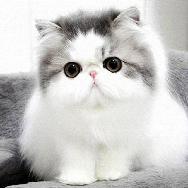 Породы кошек с приплюснутой мордой: весь список (+фото)