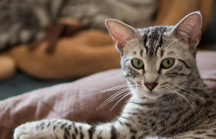 Египетская мау. история породы кошек: ее черты и особенности ухода