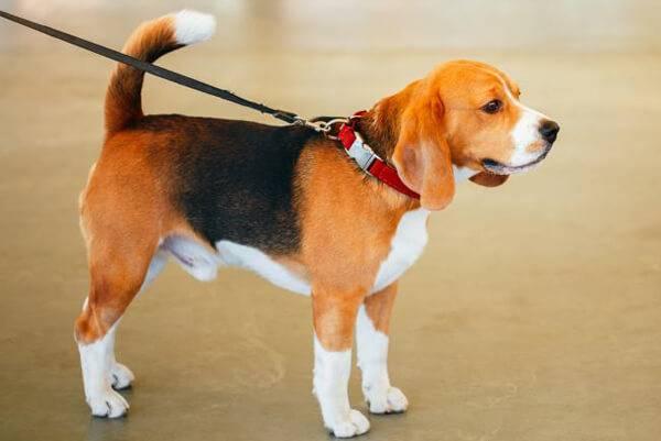 Бигль: отзывы владельцев о породе, история ее появления, характер собак, особенности их содержания в квартире, плюсы и минусы