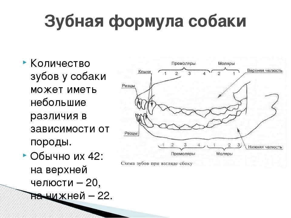 Сколько зубов у собак: строение, название, соотношение с возрастом сколько зубов у собак: строение, название, соотношение с возрастом