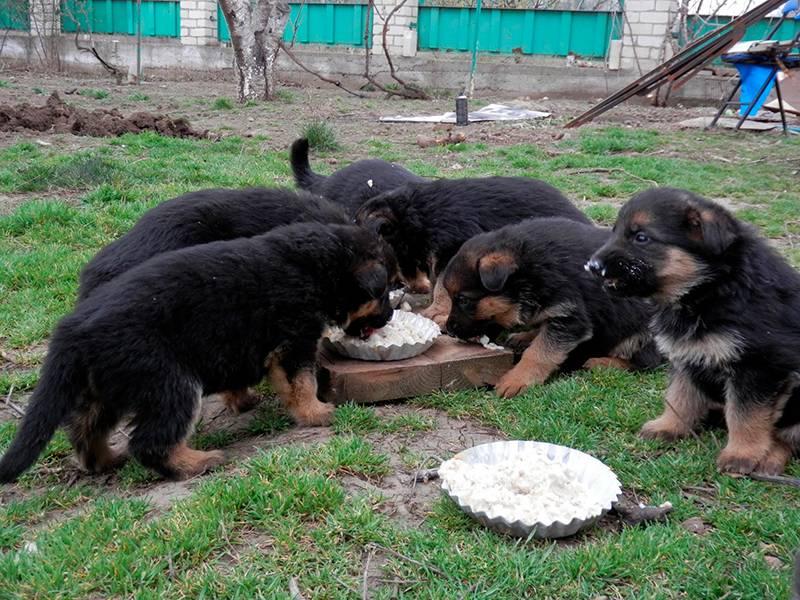 Как правильно кормить четырехмесячного щенка немецкой овчарки