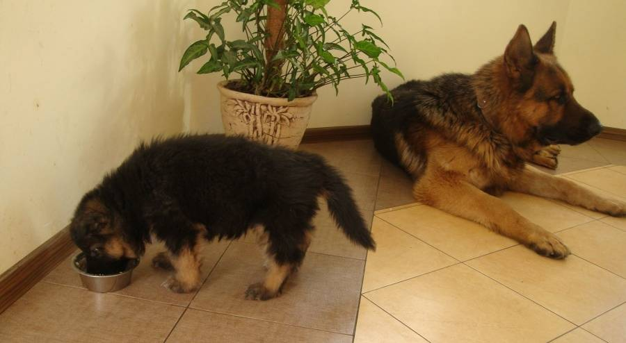 Щенки немецкой овчарки: фото по месяцам в 2, 1, 3, 4, таблица веса, также когда встают уши, как выбрать маленьких черных и других псов, до какого возраста растут?