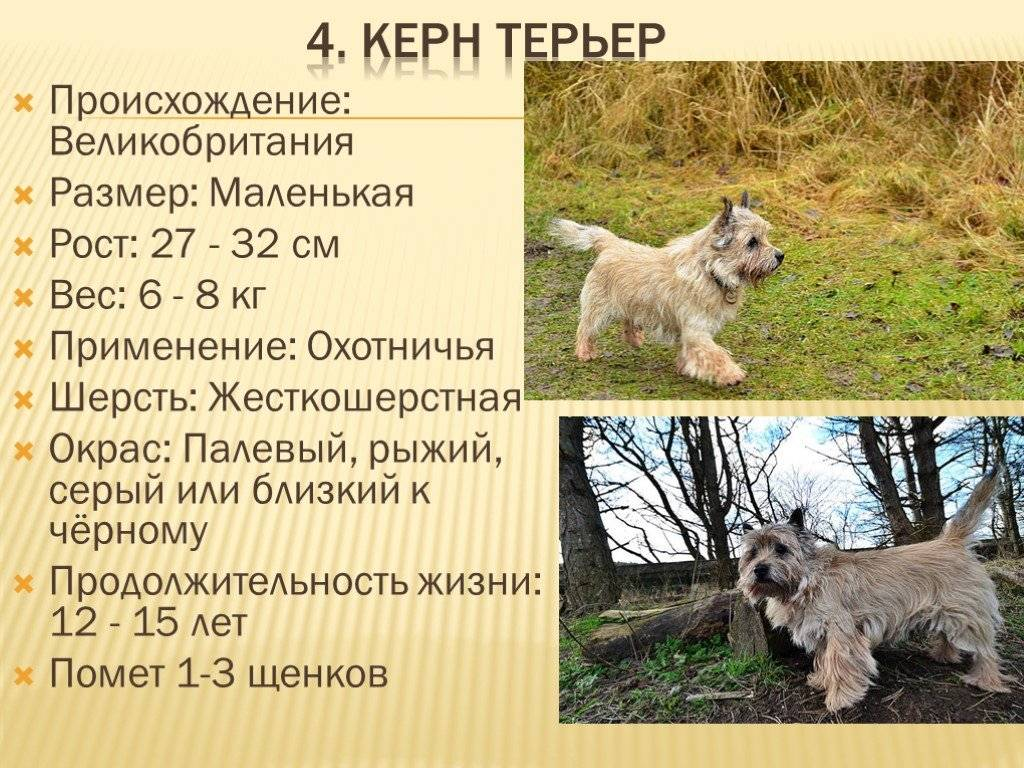 Керн-терьер: описание породы, характер собак