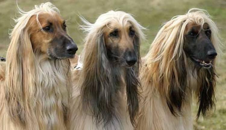 Порода собак афганская борзая - описание, характер, характеристика, фото афганских борзых и видео, цена