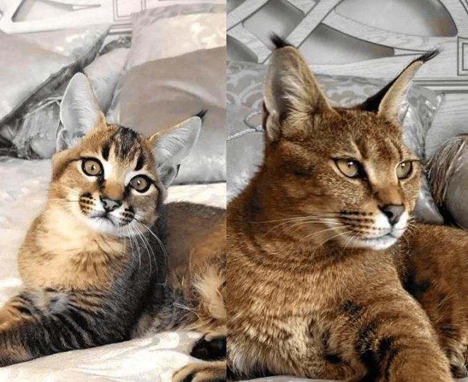 Порода кошек каракал или рысь домашняя - oozoo.ru