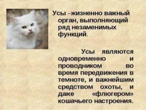 Зачем коту усы, и что будет, если их обрезать