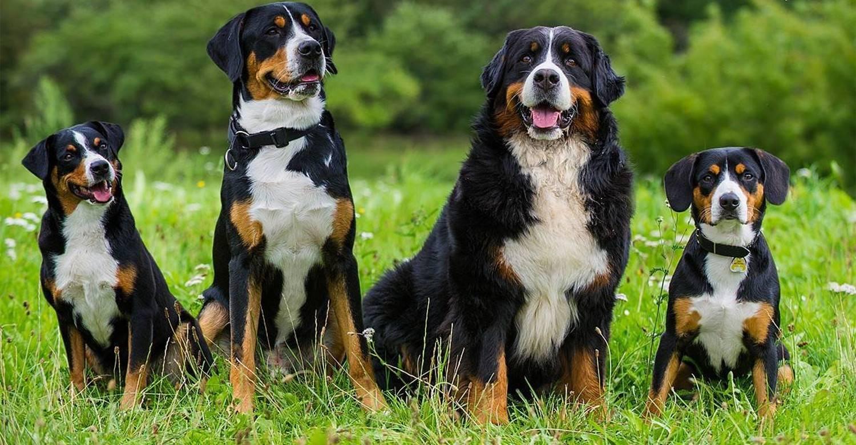 Разбираемся с породами собак. бернский зенненхунд. - прядение. - страна мам