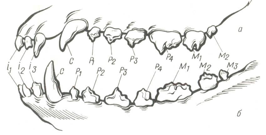 Строение зуба у взрослых и детей, виды зубов